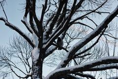 Bloßer Winterhimmel der Baumbirke Stockfotos