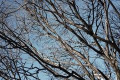 Bloßer Winterhimmel der Baumbirke Stockbild