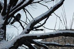 Bloßer Winterhimmel der Baumbirke Stockfotografie