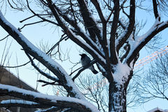 Bloßer Wintervogel der Birke Stockbilder