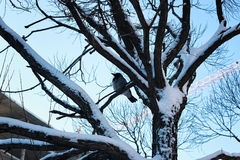 Bloßer Wintervogel der Birke Stockfotografie