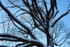 Bloßer Wintervogel der Birke Stockfoto