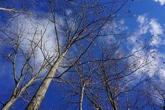 Bloße Bäume gegen blauen Winter-Himmel stockfoto