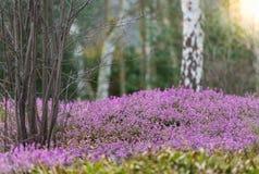 Bloassoming石南花在瑞典的森林地 库存照片