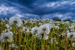 Bloated dandelions on a green meadow. Swollen dandelions on a green meadow in a mountain valley in front of a thunderstorm Royalty Free Stock Photos