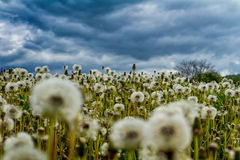Bloated dandelions on a green meadow. Swollen dandelions on a green meadow in a mountain valley in front of a thunderstorm Stock Images