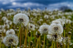 Bloated dandelions on a green meadow. Swollen dandelions on a green meadow in a mountain valley in front of a thunderstorm Royalty Free Stock Images