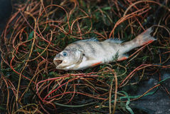 Bloated, dead, poisoned fish lies on the algae on the river bank Stock Image