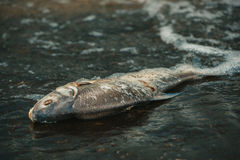 Bloated, dead, poisoned fish lies on the bank of the river. Royalty Free Stock Images