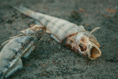 Bloated, dead, poisoned fish lies on the bank of the river. Stock Photos