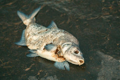 Bloated, dead, poisoned fish lies on the river bank. Stock Images