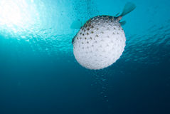 A bloated Porcupinefish (Diodon hystrix) stock photos