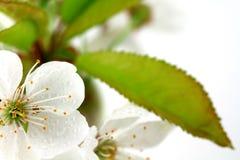 Bloboms вишни Стоковое Изображение