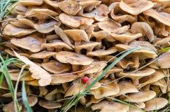 Bloc de champignon de miel Images stock
