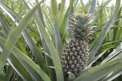 Bloc frais d'ananas Images libres de droits
