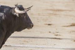 Bloccaggio della figura di un toro coraggioso del nero dei capelli fotografie stock libere da diritti