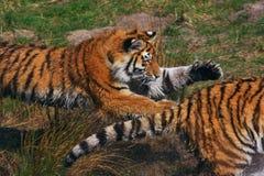 Bloccaggio della tigre un'altra tigre Immagini Stock
