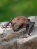 Blocco di piccolo Brown (lucifugus del Myotis) fotografia stock libera da diritti