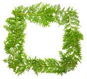 Blocco per grafici fresco verde del ginepro Fotografia Stock Libera da Diritti
