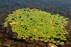 Block der grünen Lilienauflagen Lizenzfreie Stockfotos