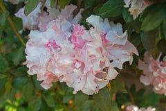 Block der rosafarbenen Blumen Stockbild