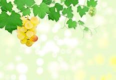 Block der Trauben auf einem grünen Weinstock Lizenzfreie Stockfotografie