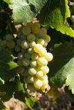 Block des weißen Weins, Trauben produzierend Stockfotos