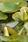 block för tjurgroda lilly Arkivbilder