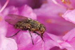 Block-fliegen Sie auf rosafarbene Blume Stockbild