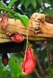 Blockera för nepenthesfallgropen för blomman (växtanatomi) blockeringen Arkivbilder