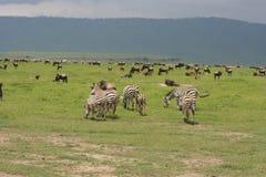 Bloco da migração de África, Tanzânia do zebre Imagens de Stock Royalty Free