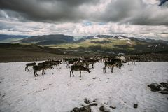 Bloco da rena norueguesa em um remendo da neve foto de stock