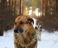 Bloco de cães dispersos Fotos de Stock Royalty Free