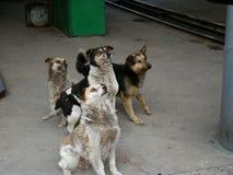 Bloco de cães dispersos Imagens de Stock Royalty Free