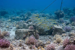 Bloco de goatfishes do yellowstripe imagens de stock