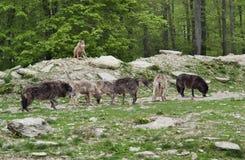 Bloco de Gray Wolves imagem de stock