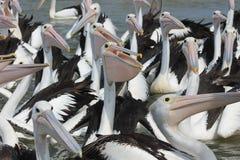 Bloco do pelicano Imagem de Stock Royalty Free