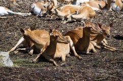 Bloco dos cervos que sentam-se para baixo no sol no jardim zoológico de Zurique fotos de stock