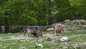 Bloco dos lobos na alimentação imagem de stock