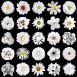 Bloco mega das flores brancas naturais e surreais 25 em 1 isolado Imagens de Stock Royalty Free