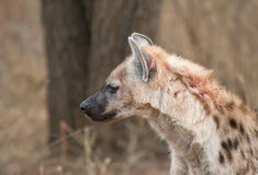 Blodad ner hyena Royaltyfri Foto