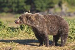 Blodig nos på brunbjörn Arkivfoton