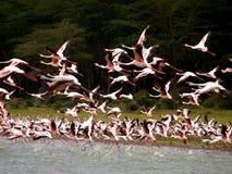 blodstockningflamingoflamingos som flyger laken Royaltyfri Fotografi