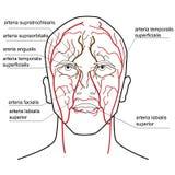 Blodtillförsel av huvudet stock illustrationer