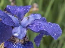 Bloe-Irisblume Stockfotos