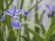 Bloe-Irisblume Stockfotografie