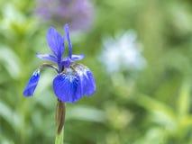Bloe-Irisblume Stockfoto