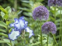 Bloe-Irisblume Stockbilder