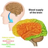 Bloedlevering van de menselijke hersenen, medische vectorillustratie royalty-vrije illustratie