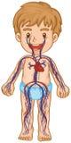Bloedsysteem in jongenslichaam royalty-vrije illustratie